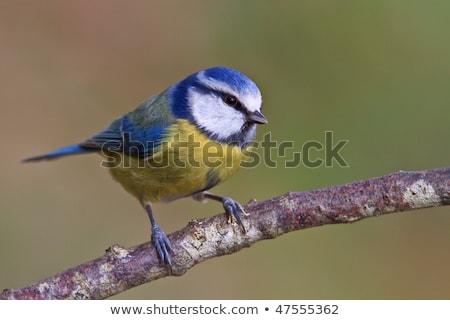 Bluetit (Parus caeruleus) Stock photo © chris2766