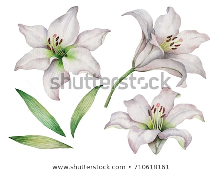 liliom · izolált · fehér · virág · húsvét · víz - stock fotó © dolgachov