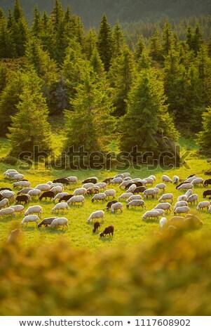 Sheep graze in the mountains Stock photo © Kotenko