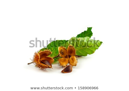 Nuts of Common Beech Stock photo © ajt