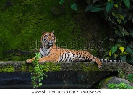Bengalski Tygrys zielona trawa trawy Zdjęcia stock © Elenarts