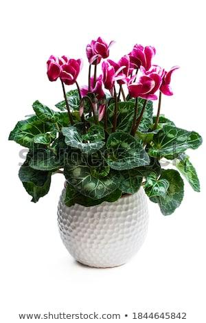 красивой · розовый · цветок · темно · цветочный · горшок · белый - Сток-фото © koufax73