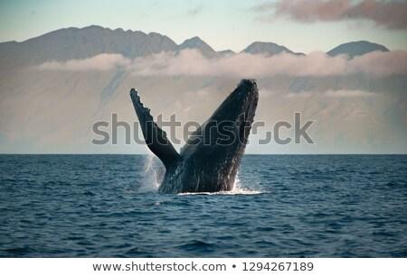 balina · okyanus · geri · cape · cod · doğa · deniz - stok fotoğraf © Hofmeester