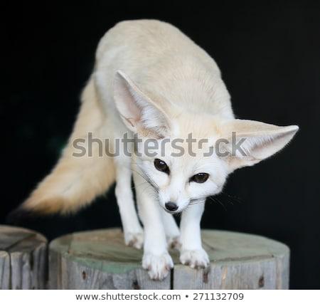 Wüste Fuchs groß Ohren schönen wenig Stock foto © fouroaks