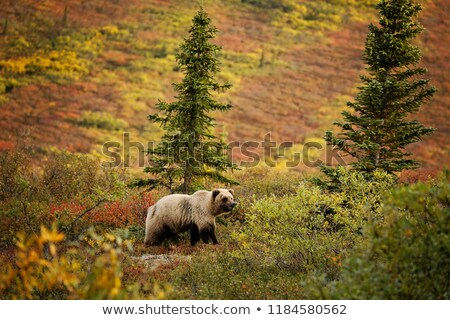 Large Wild Grizzly Bear Foraging Denali National Park Alaska Wil Stock photo © cboswell
