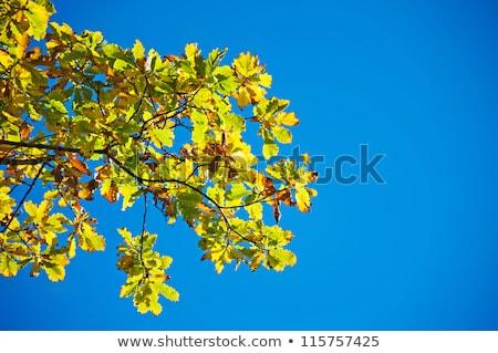 Yellow leafs on an oak and clear blue sky Stock photo © DedMorozz