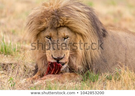 eating lion cub in black and white in the kruger stock photo © simoneeman