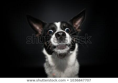 смешанный черный собака портрет белый Сток-фото © vauvau