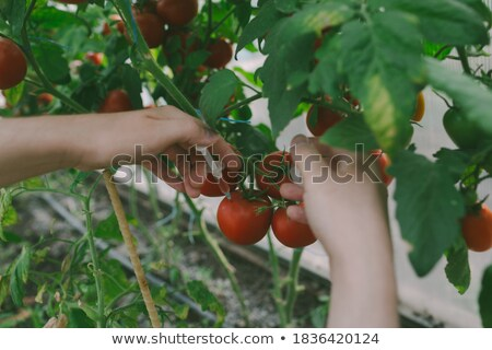 Conceptual Hand GMO Tomato Stock photo © lenm