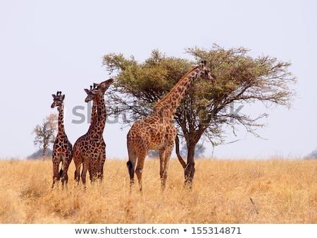 Zürafa yeme ağaç manzara Afrika Stok fotoğraf © galitskaya