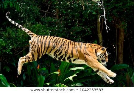 Tigris ugrik erdő illusztráció természet terv Stock fotó © bluering