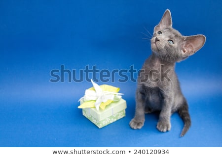 Oriental Shorthair kitten in box on white background Stock photo © CatchyImages