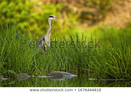 Grey heron Ardea cinerea on stone near water Stock photo © dmitry_rukhlenko