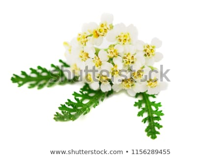 Yarrow (Achillea millefolium) Stock photo © rbiedermann