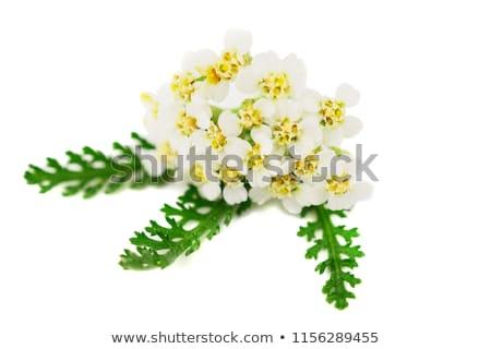 biały · kwiaty · tabeli · kwiat · zielone · muzyka - zdjęcia stock © rbiedermann