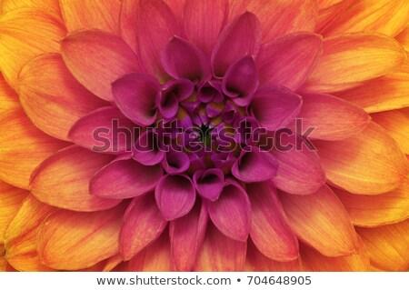 rosa · giallo · arancione · fiori · abstract - foto d'archivio © boroda