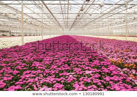 Faiskola krizantém virágok kert háttér nyár Stock fotó © stoonn