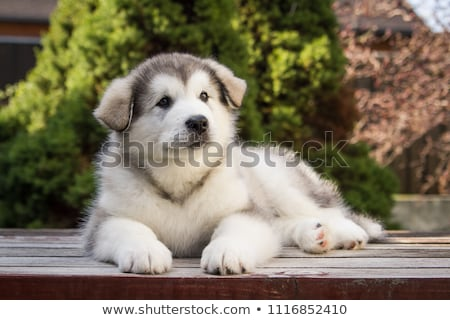 Alaszkai kutyakölyök fehér boldog fiatal állat Stock fotó © eriklam