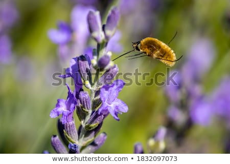 Hover fly on lavender Stock photo © mobi68