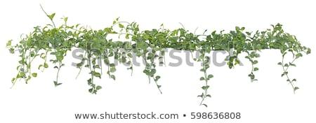 павлин стебель цветок зеленый Сток-фото © macropixel