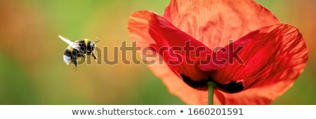 Poppy - Papaver rhoeas Stock photo © samsem