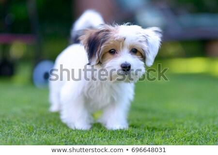 Sevimli ayakta kabarık genç köpek yavrusu bacaklar Stok fotoğraf © Amaviael