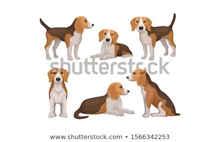 Portret beagle jonge hond naar camera Stockfoto © NeonShot