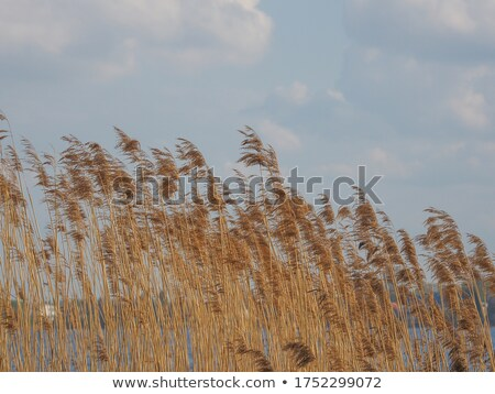 Common reed  bending with the wind, against clear sky Stock photo © Zhukow