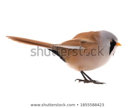 Barbu tit sauvage Photo stock © chris2766