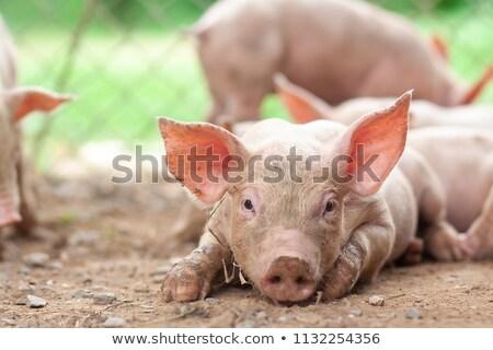 Newborn pigs sleeping on the straw. Stock photo © Yongkiet