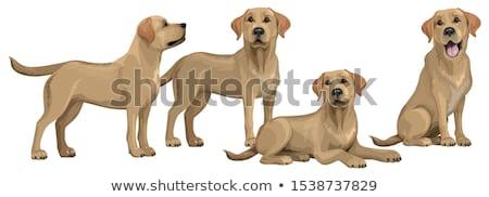 Sarı Labrador köpek beyaz Stok fotoğraf © wavebreak_media