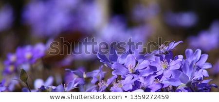 Blu fiore di primavera fiore primo piano macro primavera Foto d'archivio © Anterovium
