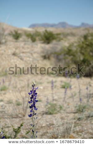 Texas Bluebonnet in the Desert Stock photo © wildnerdpix
