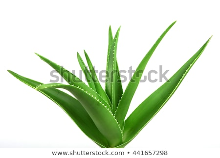 Aloe vera leaf Stock photo © ShawnHempel
