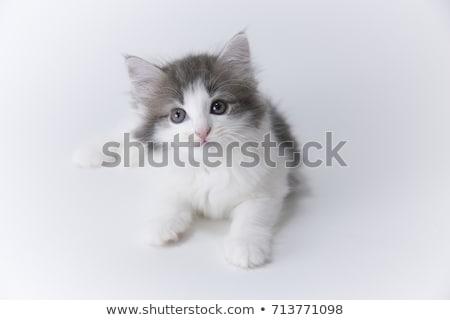 Maine noors bos kat witte vrienden Stockfoto © eriklam