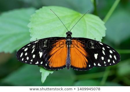 Espécies família primavera borboleta verão preto Foto stock © fotoedu