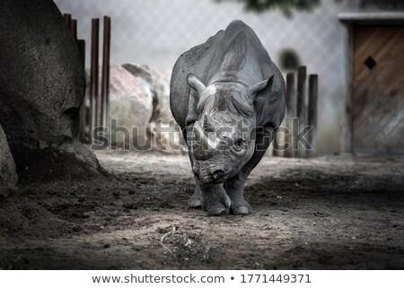 black rhino in blijdorp zoo rotterdam Stock photo © compuinfoto