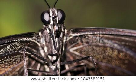 Papilio aegeus Stock photo © bluering