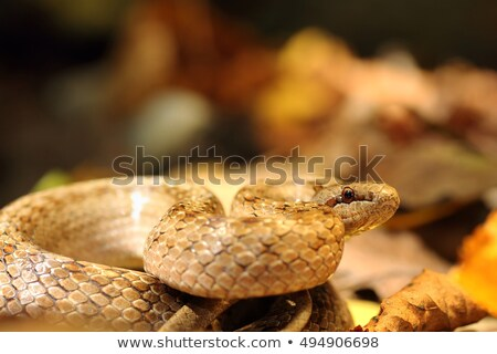 smooth snake ready to strike Stock photo © taviphoto
