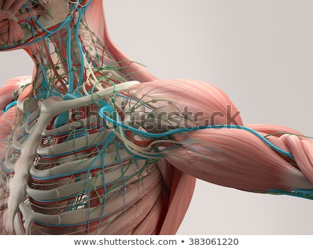 Artéria anatomia saudável camadas detalhado ilustração Foto stock © Tefi