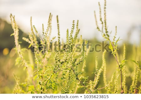 Büsche allergische Sonnenuntergang Sache Allergie viele Stock foto © galitskaya