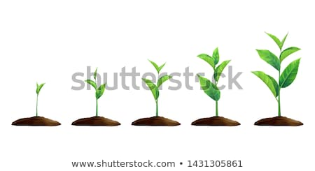mint grows in nature background Stock photo © romvo