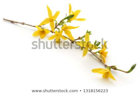 bunch of fresh forsythia stock photo © bdspn