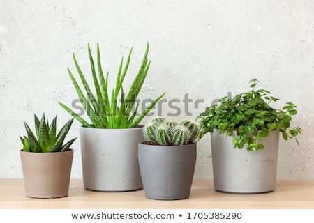 Planta suculento olla dos plantas Foto stock © Melnyk