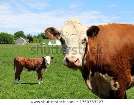 Inek siyah beyaz göz çim Stok fotoğraf © duoduo