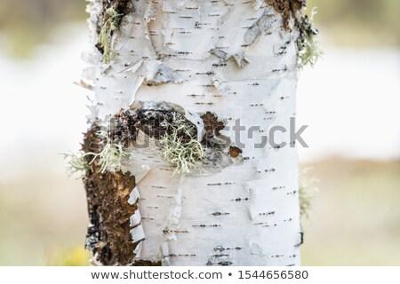 Birch rind Stock photo © AGorohov