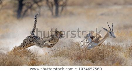 Gepárd vadászat afrikai vadvilág illusztráció vadászat Stock fotó © ajlber