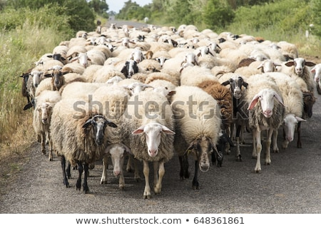 Rebanho ovelha ao ar livre tiro grama Foto stock © Saphira