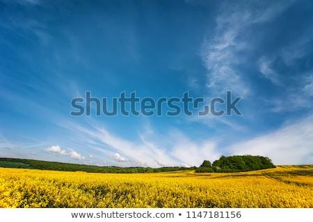 Spring summer background - rape  field with blue sky Stock photo © dmitry_rukhlenko
