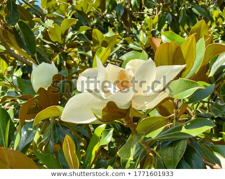 Magnolia grandiflora flower detail  Stock photo © AlessandroZocc
